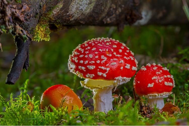 Ciupercuța și povestea ei