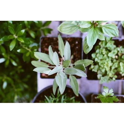 Plantele aromatice în bucătărie
